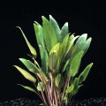 Cryptocoryne petchii.jpg